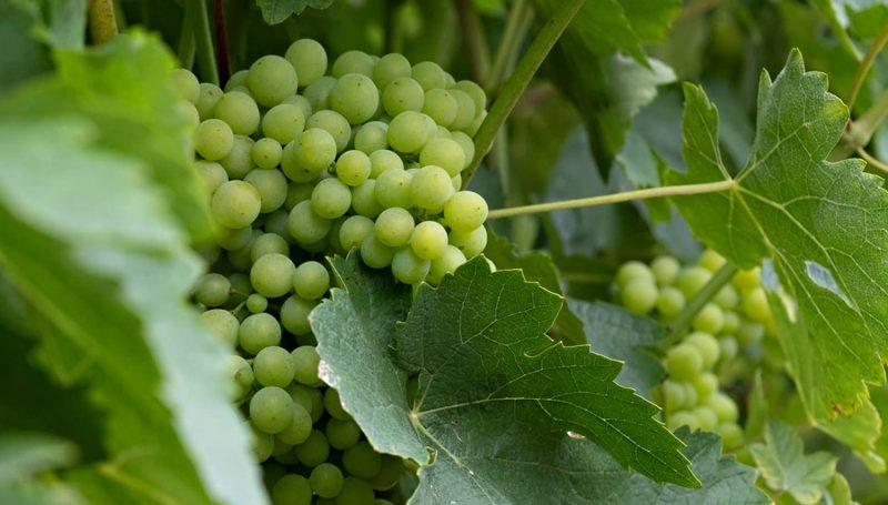 Schema Conduite Vigne Fond 2